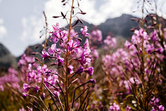 Le rose de passage de la Suisse fleurit l'albula de ressort Image stock