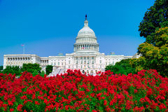 Le rose de Washington DC de bâtiment de capitol fleurit les Etats-Unis Photos libres de droits