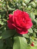 Le rose del giardino è fiori della molla immagini stock libere da diritti