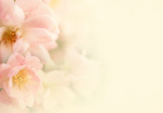Le rose dolci di colore fioriscono nella morbidezza ed offuscano lo stile su struttura della carta del gelso Fotografia Stock Libera da Diritti