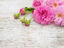 Le rose ed i germogli sul bianco dipinto imbarcano immagine stock