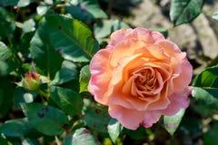 Le rose et la pêche ont monté Image stock