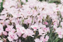 Le rose fleurit le backgrround, fin de fleur d'été  photographie stock libre de droits