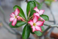 Le rose fleurit beau Photographie stock