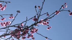 Le rose fleurit l'arbre avec le ciel bleu banque de vidéos