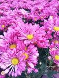 Le rose fleurit le fond frais coloré Images stock