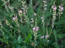 Le rose fleurit le sainfoin photo libre de droits