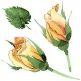 Le rose gialle dell'tè-ibrido del Wildflower fioriscono in uno stile dell'acquerello isolate Fotografie Stock