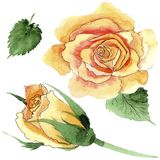 Le rose gialle dell'tè-ibrido del Wildflower fioriscono in uno stile dell'acquerello isolate Fotografie Stock Libere da Diritti