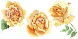 Le rose gialle dell'tè-ibrido del Wildflower fioriscono in uno stile dell'acquerello isolate Fotografia Stock Libera da Diritti