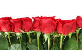 Le rose hanno allineato in una riga isolate su Backgrou bianco Fotografie Stock Libere da Diritti