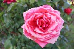 Le rose a monté étroitement vers le haut de la terre arrière trouble photo libre de droits