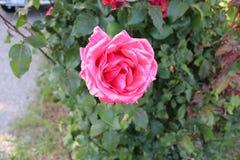 Le rose a monté étroitement vers le haut de la terre arrière trouble d photo stock