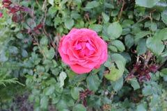 Le rose a monté étroitement vers le haut de la terre arrière trouble e image stock