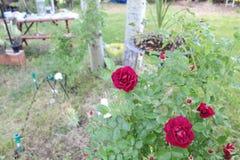 Le rose a monté étroitement vers le haut de la terre arrière trouble g images stock