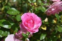Le rose a monté Image libre de droits