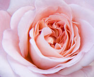 Le rose a monté Photographie stock