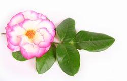 Le rose a monté. Image libre de droits