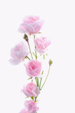 Le rose a monté Images libres de droits