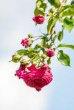 Le rose a monté Photos stock