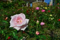 Le rose a monté Photos libres de droits