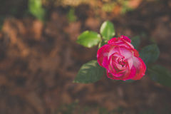 Le rose a monté Photo stock