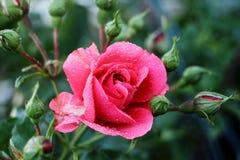 Le rose a monté images stock