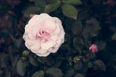 Le rose a monté Photographie stock