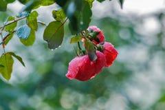 Le rose a monté avec des baisses de l'eau Photographie stock libre de droits