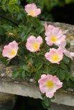 Le rose a monté brouillant sur le mur Photo libre de droits