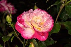 Le rose a monté Rose dans les baisses de la rosée Photographie stock libre de droits