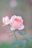 Le rose a monté dans un jardin Photos stock