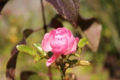 Le rose a monté dans un plan rapproché de jour ensoleillé photo libre de droits