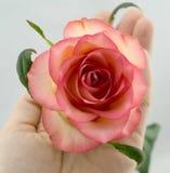 Le rose a monté sur le fond blanc Photographie stock