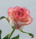 Le rose a monté sur le fond blanc Images libres de droits