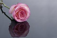 Le rose a monté sur le fond gris Images libres de droits