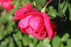 Le rose a mont? photographie stock