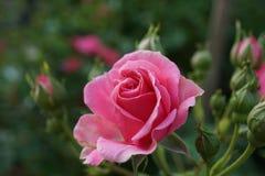 Le rose a mont? photographie stock libre de droits
