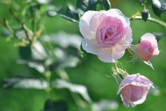 Le rose nel giardino Immagine Stock