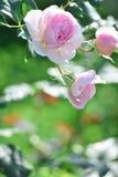 Le rose nel giardino Fotografie Stock Libere da Diritti