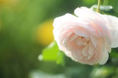 Le rose nel giardino Fotografia Stock