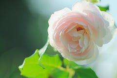 Le rose nel giardino Fotografia Stock Libera da Diritti