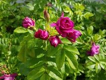 Le rose per sempre fioriscono Fotografia Stock