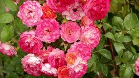 Le rose piantano in giardino video d archivio