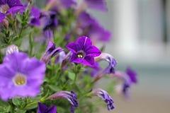 Le rose pourpre a veiné des fleurs de gloire de matin au ressort Photo stock