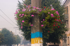 Le rose pourpre a veiné des fleurs de gloire de matin au ressort Photographie stock