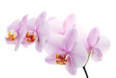 Le rose a repéré des orchidées d'isolement sur le blanc Images libres de droits