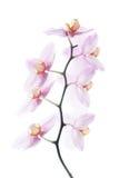 Le rose a repéré des orchidées d'isolement sur le fond blanc Images libres de droits