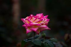 Le rose rosa Immagine Stock