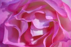 Le rose rosa Immagine Stock Libera da Diritti